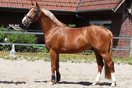 Pferd Dycello